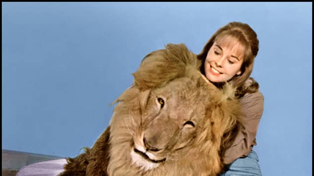 Cheryl Miller with Clarence, the Cross-Eyed Lion in the series 'Daktari'.